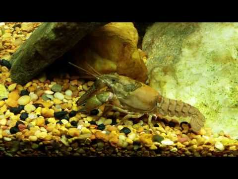 Virile Crayfish And Warmouth Sunfish In My Native Tank