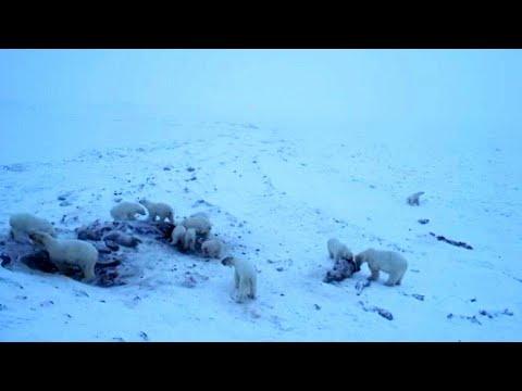 50 Eisbären fallen über Walross-Kadaver her | AFP
