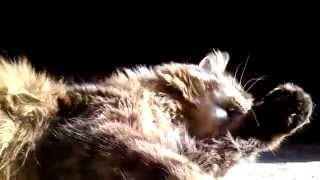 Зачем умываются коты?