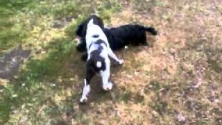 American Cocker Spaniel Vs English Springer Spaniel