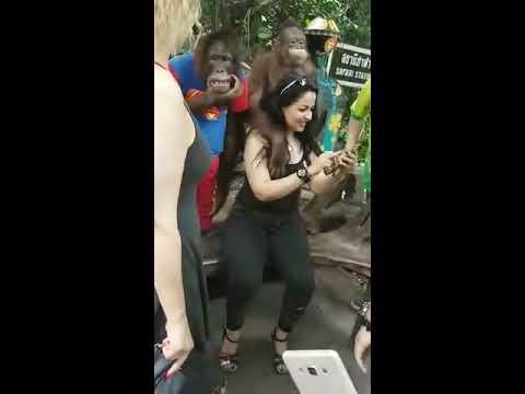 Chimpanzee fun with Lady.Funny video