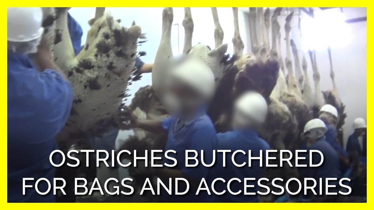 Des autruches massacrées pour faire des accessoires de luxe