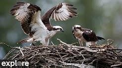 Charlo Montana Osprey Nest powered by EXPLORE.org
