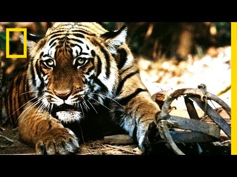 Battling India's Illegal Tiger Trade | National Geographic