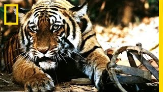 Battling India's Illegal Tiger Trade   National Geographic