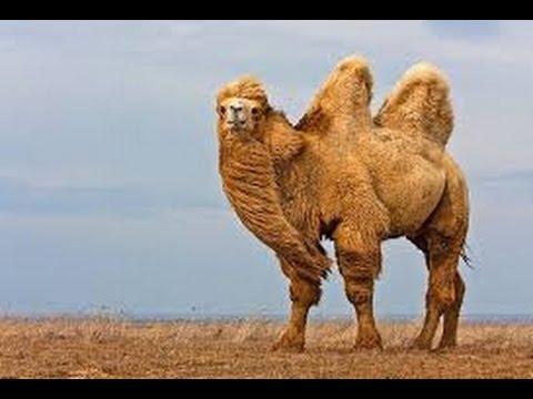 Верблюды видео. Дикий верблюд.