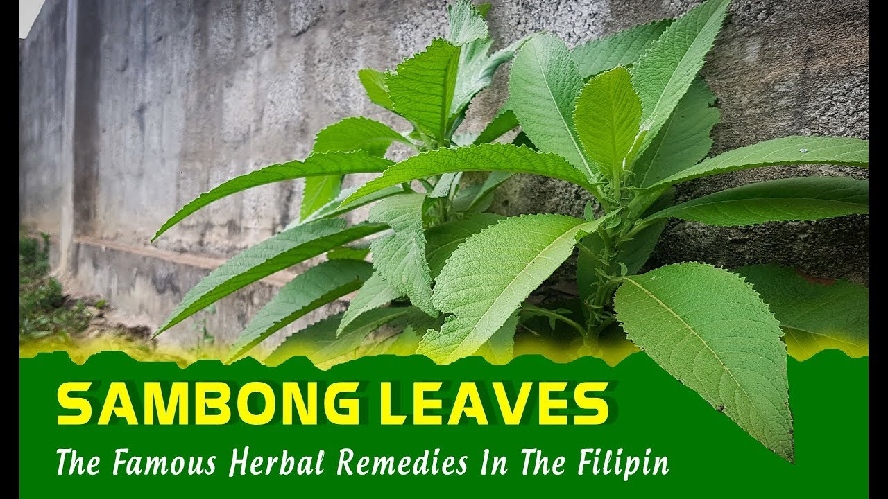 SAMBONG LEAVES: One Of The Most Famous Herbal Remedies In The Filipina Region / Medicinal Plants #Herbalmedicine