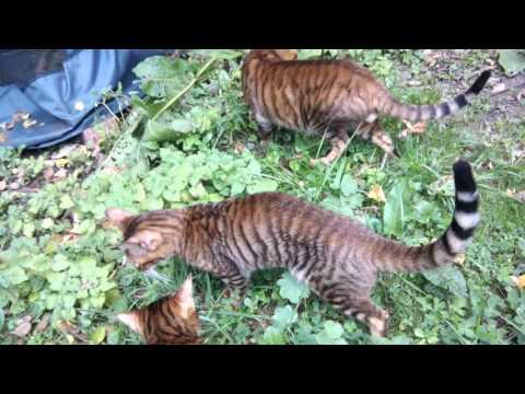Тойгер: О породе - Породы кошек - CATS-портал