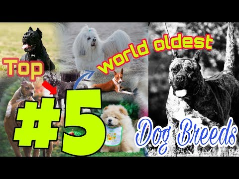 Top 5 oldest dog breeds in Earth