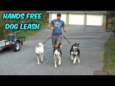 My Husky Trying Hands Free Dog Leash
