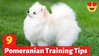 9 Amazing Pomeranian Puppy Training Tips   How to Train your Pomeranian puppy?