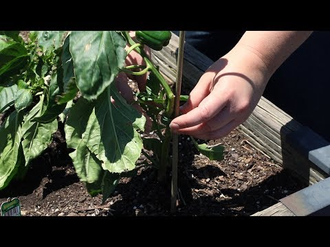 How to Stake Pepper Plants