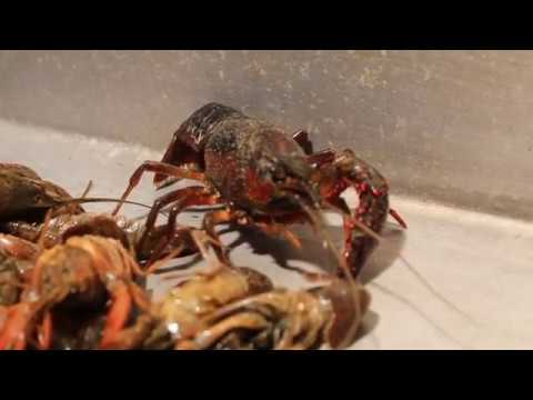Are The Crawfish You're Eating From Louisiana Or Overseas?