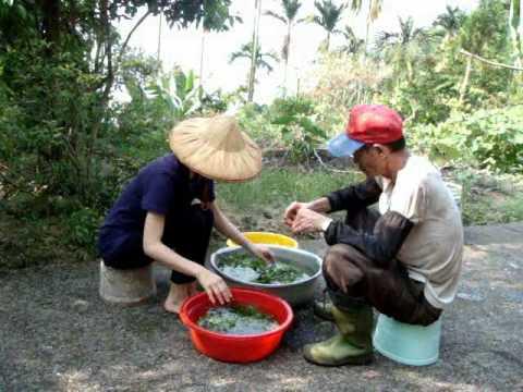 種植龍鬚菜 | Doovi