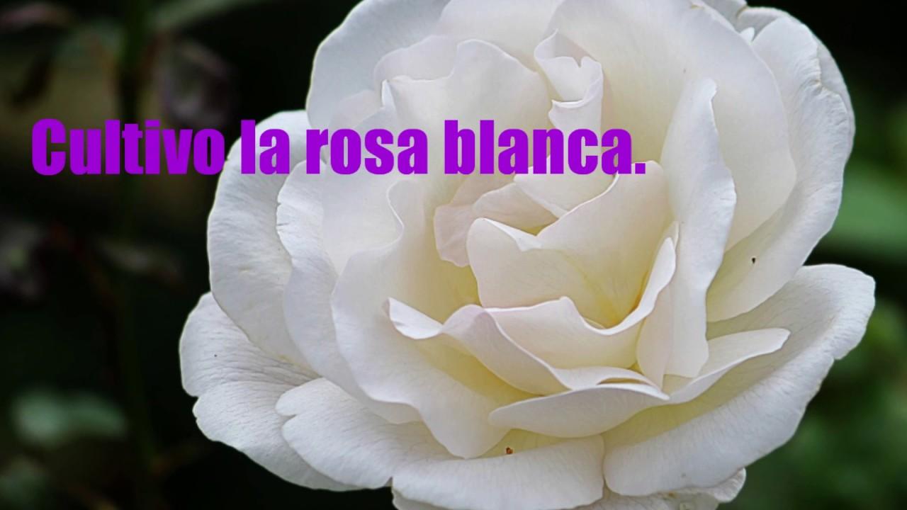 Cultivo Una Rosa Blanca De José Martí Versos Sencillos Declama