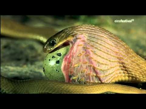Schlange frisst Ei