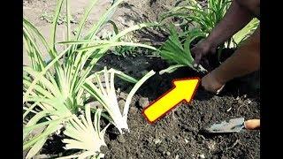 Сделайте это с лилейником осенью в октябре и сентябре для бурного цветения на следующий год!