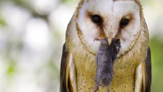 DID YOU KNOW: Owls spit up pellets of bones and fur