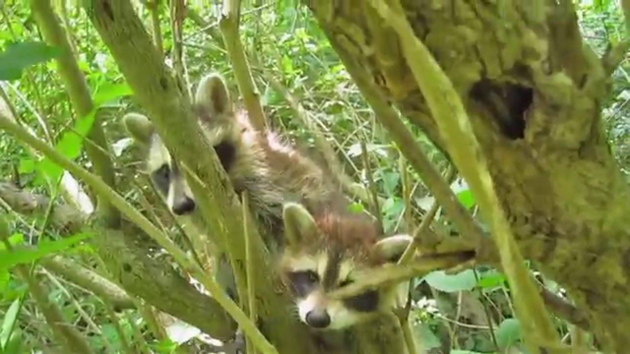 baby raccoons in my backyard!! - YouTube