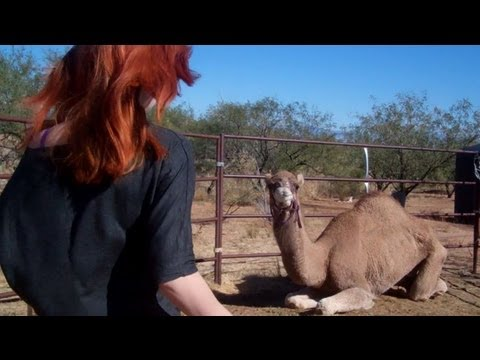 Working With My Dromedary Camel - No Touch or Contact