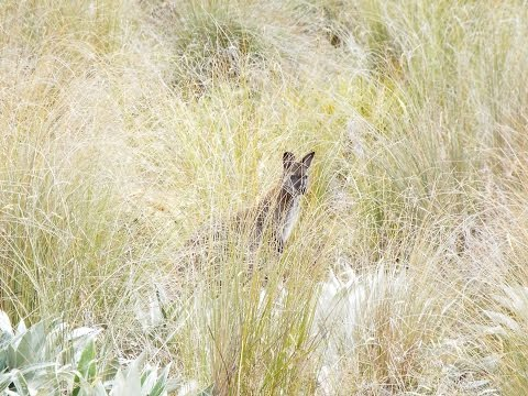 Varmint Wallaby Hunting In New Zealand