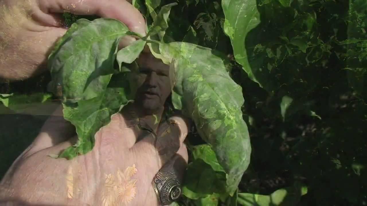 Powdery Mildew On Flowering Dogwood James Blake YouTube