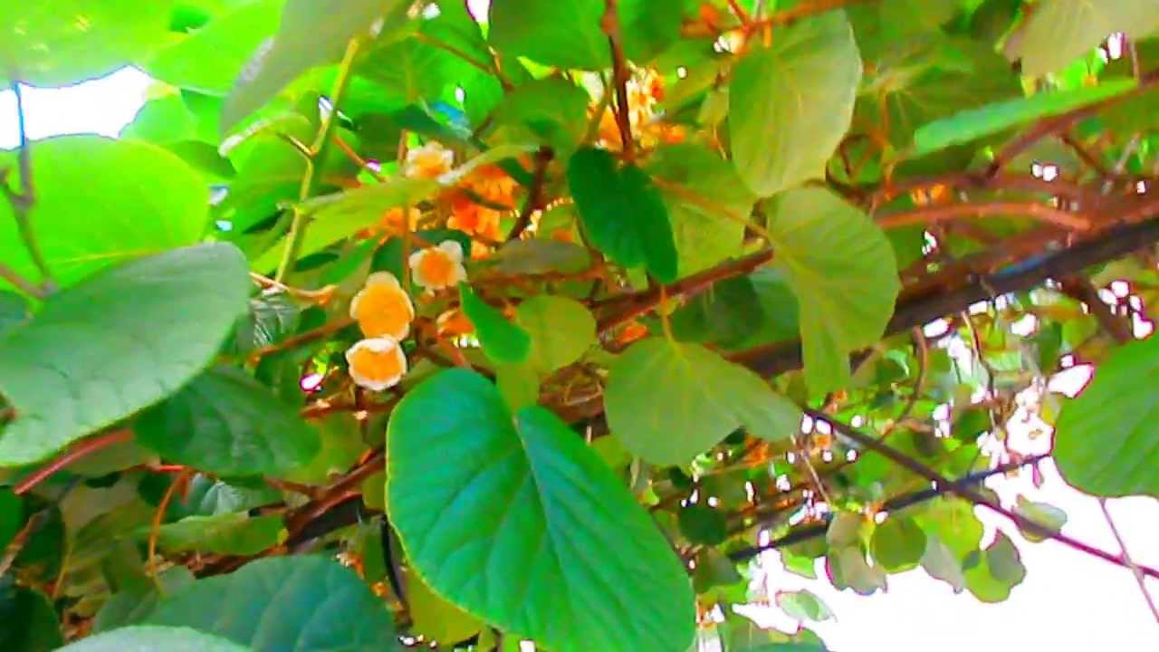 инжир цветение