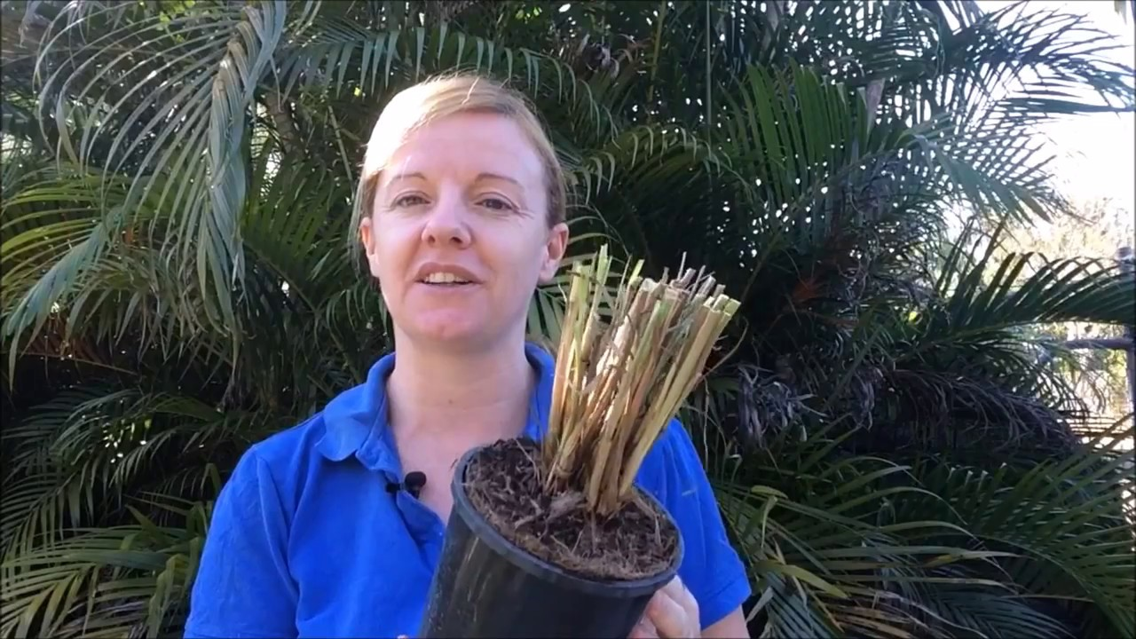 How To Prune And Divide Your Purple Fountain Grass Youtube