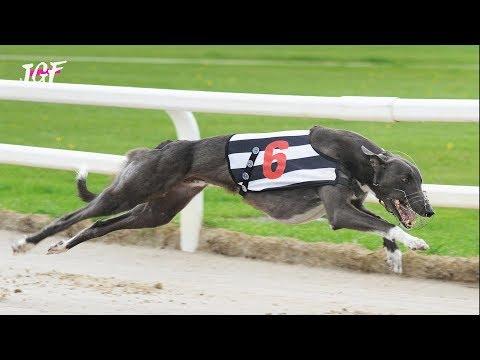 Greyhounds - Track Race