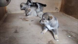 9月4日生まれの四国犬 男の子4匹です。 ご予約受付中 マイケル子犬直販.