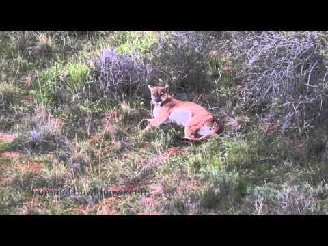 Big Mountain Lion Hanging Loose in Malibu
