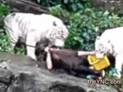 white tiger attacks zookeeper youtube