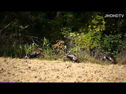 Wild Eastern Turkeys, 5 Toms Feeding In MO. Meleagris gallopavo. NWTF, Bird, gobbler