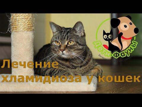 Лечение хламидиоза у кошки