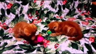 Котята экзотические.