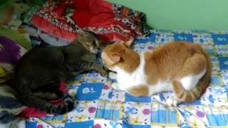 Real Cat Fight ( Watch With Sound ) Close Encounter [ Must Watch ]