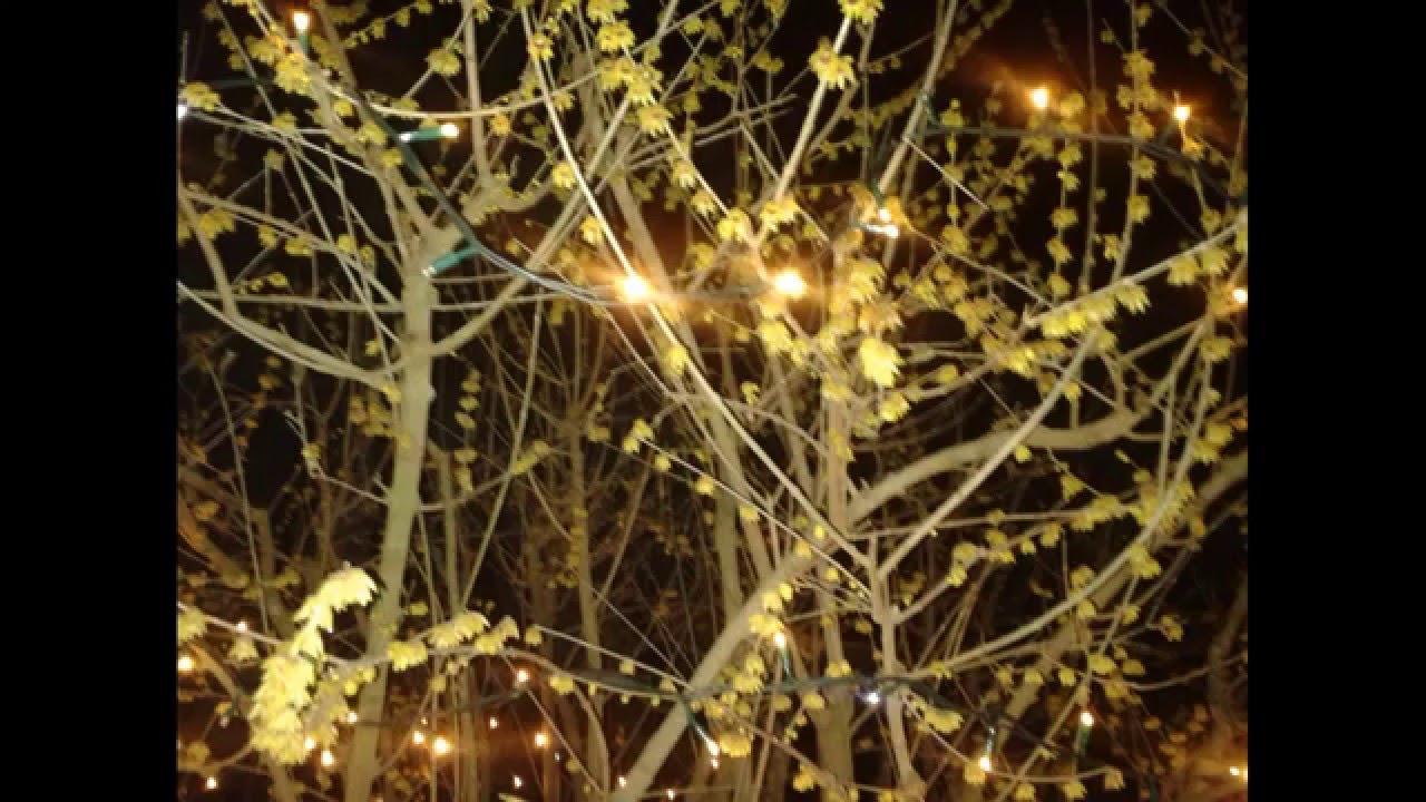 Calicanto Fiore D Inverno calicanto fiore d'inverno