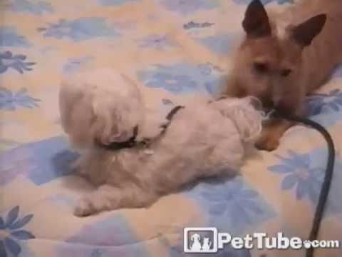 Dog Keeps Friend on a Tight Leash- PetTube