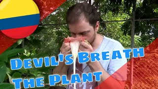 Explaining Devil's Breath (Scopolamine) from Angel's Trumpets (Brugmansia)