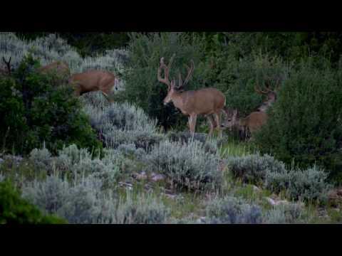 Hunt Masters - INCREDIBLE Mule Deer Footage - Outdoor Channel