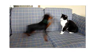 Miniature Pinscher Vs Cat Big Fight!!!!
