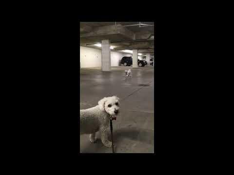 Bichon Frise Dog Barking at Brother in Garage