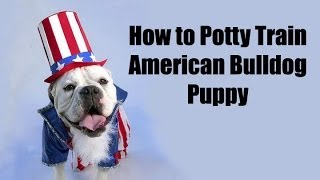 How To Train Bulldog : How To Potty Train American Bulldog Puppy