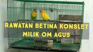 Download lagu TIPS LOVEBIRD KONSLET : PENGGACORAN LOVEBIRD BETINA KONSLET milik om AGHOST