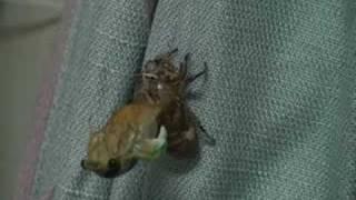 セミ科 Cicadidae クマゼミ Cryptotympana fucialis 蟻に取り囲まれてい...