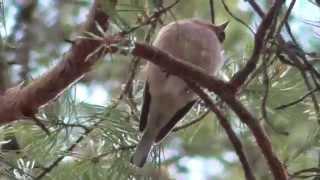 Поющий зяблик в весеннем лесу.