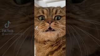 ПРИКОЛЫ 2021 | Коты и кошки  | Тик ток  котики  #Shorts #Приколы #Коты