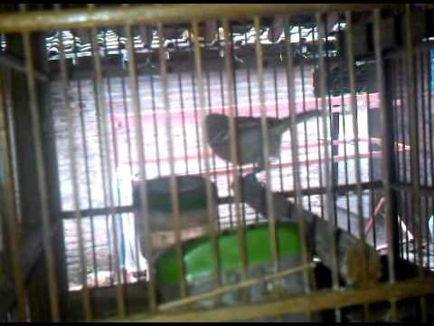 Burung Cito Joss
