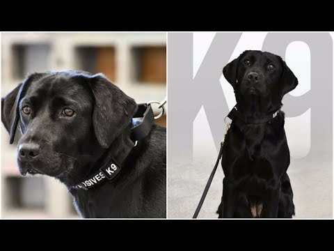 CIA has released black dog from their bomb sniffing program because Lulu wants to enjoy herself