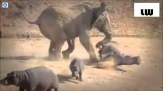彼女はカバのグループと一緒に放牧した積極的な象bull.The象に対する彼...